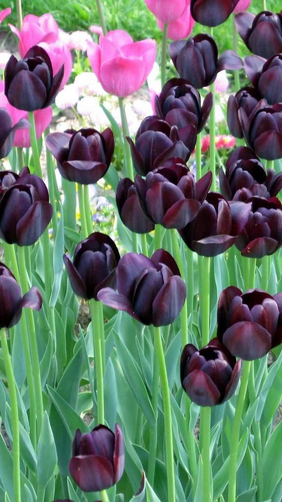 Frühling Zeit des Wachsens, Blumenbeet, Tulpen, Feng Shui